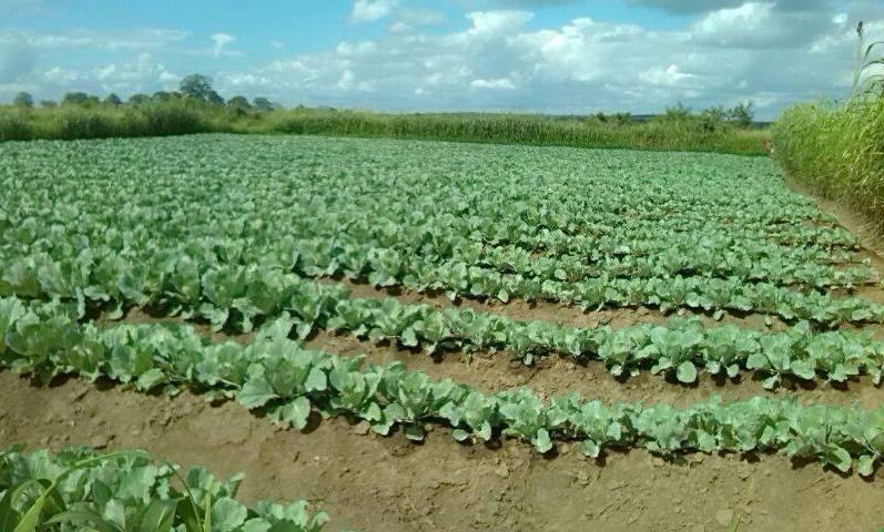 Cabbage-Farming-in-Kenya